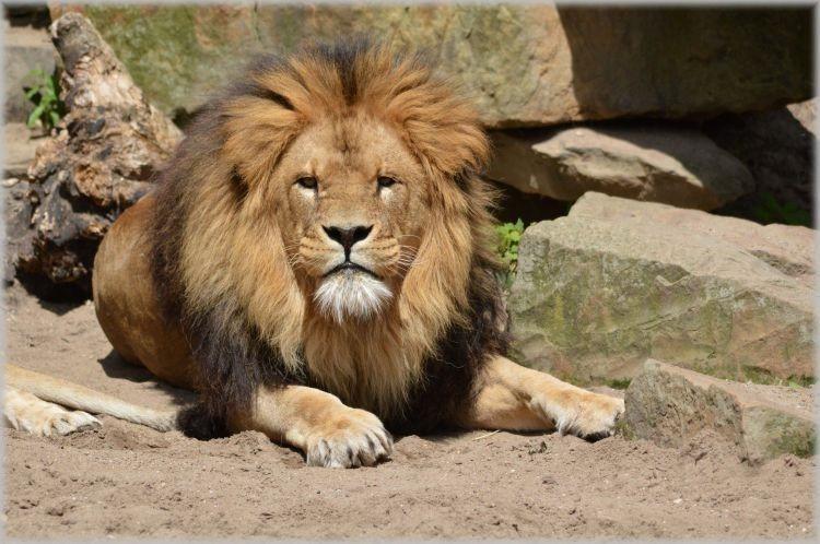 leeuwen-in-artis-14